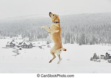Wintry adventure - Yellow labrador retriever is jumping in...