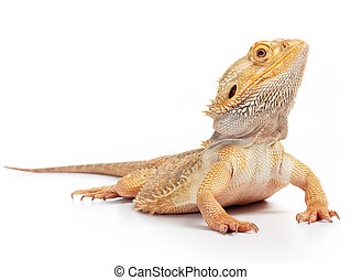bearded dragon pogona vitticeps isolated on white background...
