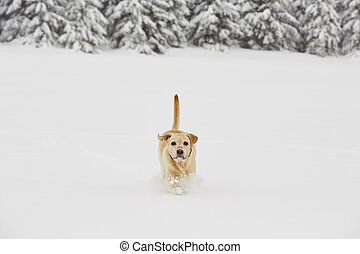 Wintry adventure - Yellow labrador retriever is running in...