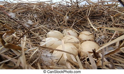 Huge Swan eggs in the nest on the Arctic lake - Clutches of...
