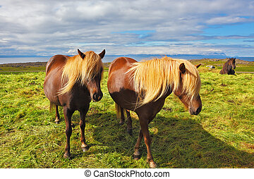 Two Icelandic horses with yellow manes - S