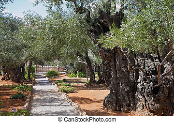 The path in the Garden of Gethsemane - Location prayer of...
