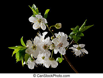 Spring - Close up of plum flowers on black background