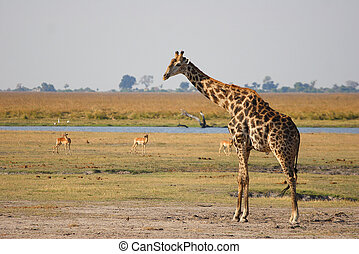 African Giraffe on a grass plain