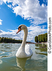 Mute Swan on a lake in a beautiful summer day