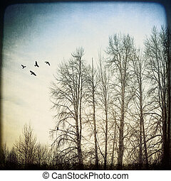 Birds and Birches - Stand of birch trees in winter with a...
