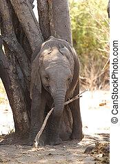 baby, afrikanisch, spielende, elefant