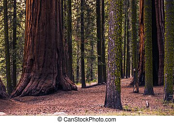 Sierra Nevada Forest with Giant Sequoias California, United...