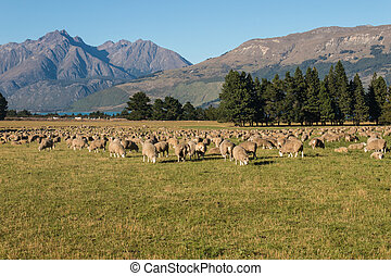sheep grazing on field in Southern Alps