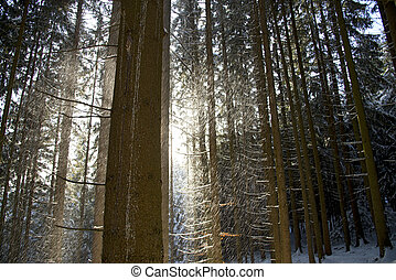 snow flurry - driving snow in a coniferous forest between...