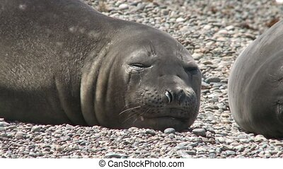 Sleeping fur seal close-up. Punta Ninfas place, Argentina