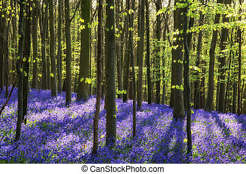Stunning bluebell flowers in Spring forest landscape -...