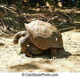 Giant tortoises mating at Seychelles - Giant tortoises...