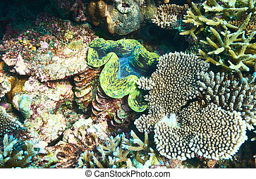Giant clam at the tropical coral reef - Giant clam Tridacna...