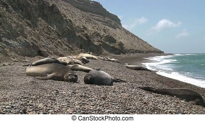 Seal rookery on the coastline of Atlantic Ocean. Punta...