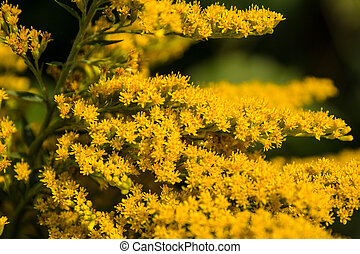 yellow flowers - tufts of yellow flowers growing on a bush