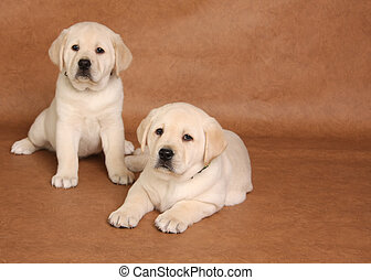 Labrador puppies - Two yellow lab puppies, focus on the...