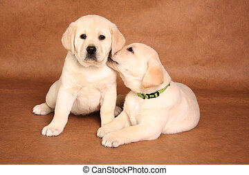 Labrador puppies - Cute labrador puppies snuggling together....