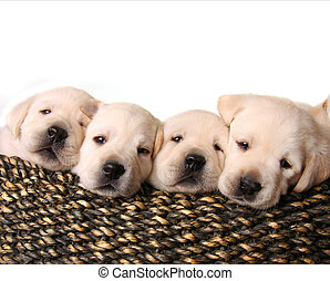 lab puppies - Four yellow lab puppies in a basket.