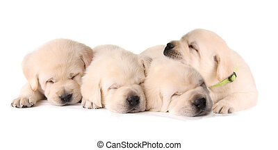 Four sleeping puppies - Four sleepy yellow lab puppies.