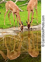 Deers drinking water - Wild deers drinking water in harmony...