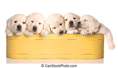 popped puppies - Five yellow lab puppies in a yellow...