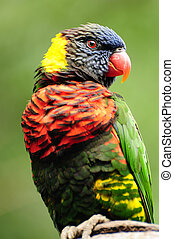Lorikeet portrait - Closeup of a beautiful rainbow lorikeet...