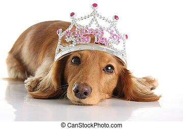 Dachshund princess - Dachshund wearing a princess crown...