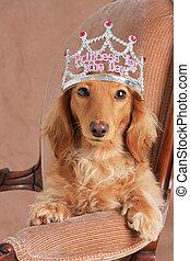 Princess dachshund