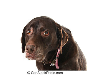 Sad dog - Sad and lonely looking old labrador retriever.