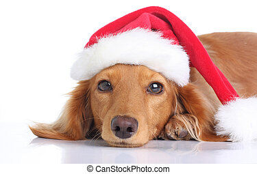 Santa dog - Dachshund dog with Santa hat.