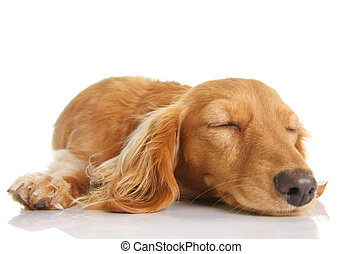 Sleeping puppy - Sleeping long hair dachshund puppy