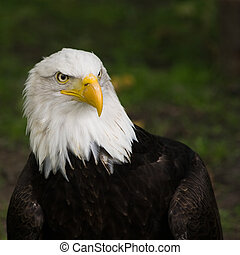 Bald eagle portrait, square cropped image - Bald eagle,...