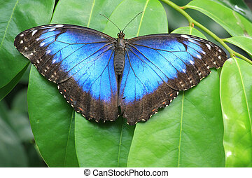 Blue butterfly - Blue morpho butterfly in its natural...