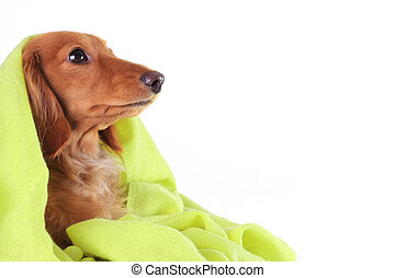 Green puppy - Dachshund puppy cozy under her green blanket.