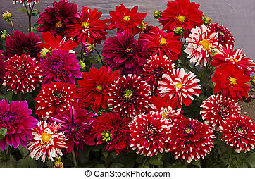 Colourful dahlia with waterdrops - Colourful bouquet of...