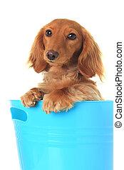 Dachshund - Cute dachshund in a blue bucket.