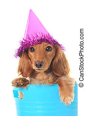 Birthday dachshund - Dachshund wearing a party hat