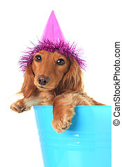 Birthday puppy - Cute puppy wearing a party hat.