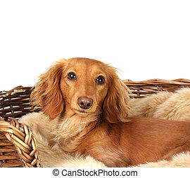 Dachshund in her basket