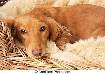 Dachshund - Lonely looking dachshund in her basket.