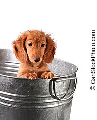 Puppy bath time - Wet puppy in a stainless steel tub