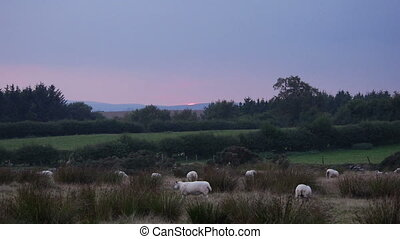 Sheep at sunset in Welsh landscape