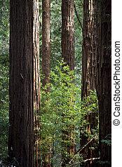 Among giants - Group of Coast Redwoods, Sequoia...