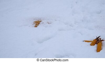 Bait for wild boar - Prepared baits for wild boar in a snow...