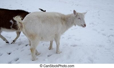 Goats and dog in the snow