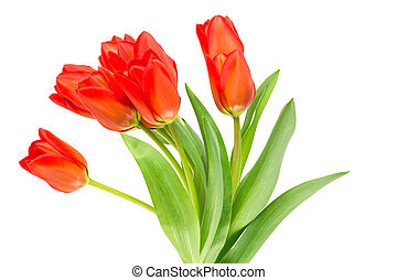 Orange tulips on white