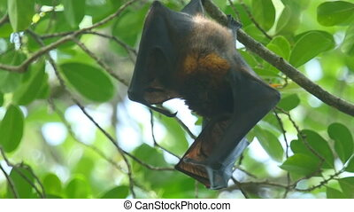 Flying fox - Lyles flying fox -Pteropus lylei- self washing...