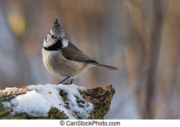 Brown Eyed Girl - The crested tit Parus cristatus with the...