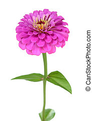 zinnia - a pink zinnia flower isolated on white